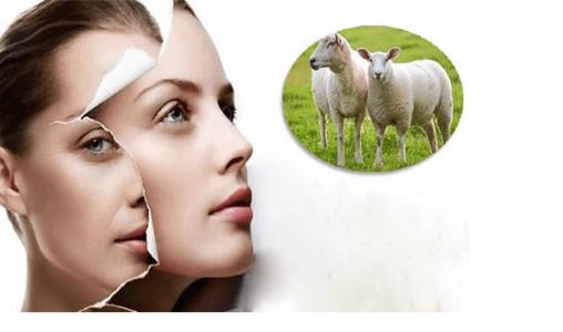[Giải đáp] Sử dụng nhau thai cừu như thế nào